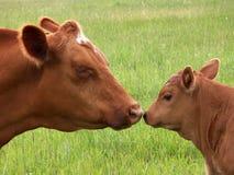 小牛母牛亲吻 图库摄影