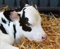 小牛母牛年轻人 图库摄影