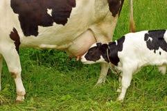 小牛母牛提供 免版税库存照片