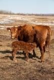 小牛母牛看护 免版税库存图片