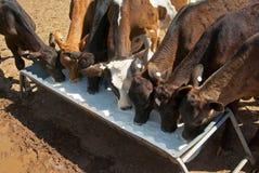 小牛母牛饮用奶 免版税图库摄影