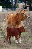 小牛母牛 库存照片