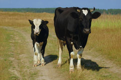 小牛母牛 免版税库存照片