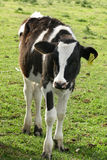 小牛牛奶店 库存照片