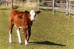 小牛牧场地 在吃草的幼小母牛 在农业农场的秋天 畜牧 免版税库存照片