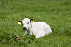 小牛白色 库存图片