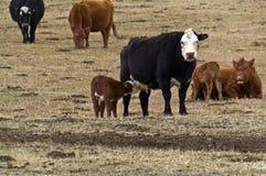 小牛看护 库存图片