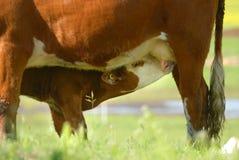 小牛看护 免版税库存照片