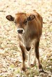 小牛纵向 库存照片