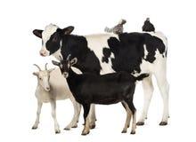 小牛肉, 8个月,突出与位于在其返回和二只山羊的一只波兰鸡和母鸡突出在他前面 免版税库存照片