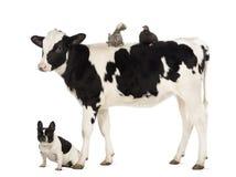 小牛肉, 8个月,突出与位于在其返回和法国牛头犬坐在他之下的一只波兰鸡和母鸡 免版税图库摄影