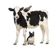 小牛肉, 8个月,突出与突出在其返回和法国牛头犬的一只波兰鸡坐在他之下 免版税图库摄影