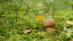 小牛肝菌蕈类在森林增长 自然食用植物关闭  影视素材