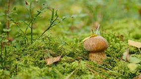 小牛肝菌蕈类在森林增长 自然食用植物关闭  股票录像