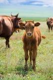 小牛草甸夏天 库存照片