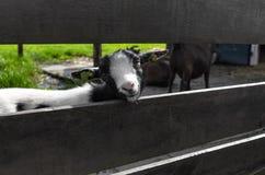 小牛调查在篱芭的孔 图库摄影