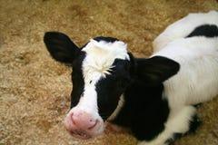 小牛黑白花牛年轻人 图库摄影
