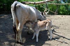 小牛他的母亲 免版税库存图片