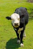 小牛年轻人 库存图片