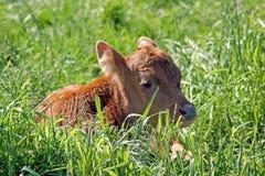 小牛 免版税图库摄影