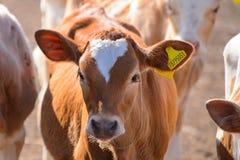 小牛 免版税库存照片