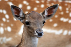 小牛mouflon 免版税库存图片