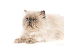 小牡蛎猫喜马拉雅纵向 库存图片