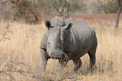 小犀牛运行的白色 免版税库存图片