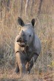 小犀牛 免版税库存照片
