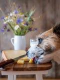 小犬座吃从一个木切板的乳酪 图库摄影
