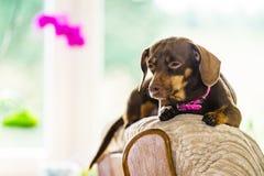 小犬座坐长沙发 库存照片