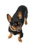 小犬座纵向  免版税图库摄影