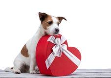 小犬座起重器在白色背景的罗素狗与心脏 欢乐宠物,春天2月14日, 免版税库存照片