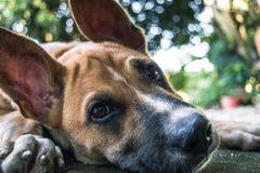 小犬座,布朗狗 免版税图库摄影