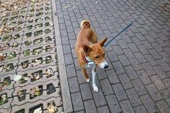 小犬座 免版税图库摄影