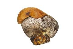 小狂放的蘑菇 库存照片