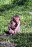 小狒狒坐 免版税库存照片