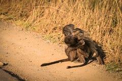 小狒狒 免版税库存照片