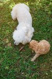 小狗与妈妈的长卷毛狗戏剧 免版税库存图片