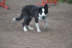 小狗与球的博德牧羊犬 免版税库存图片