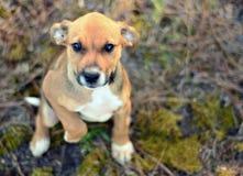 小狗乞求与逗人喜爱的眼睛 库存照片