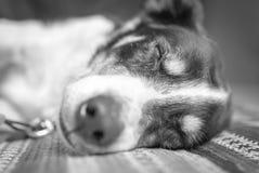 小狗休眠 免版税图库摄影