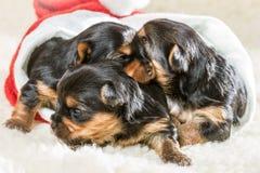 小狗作为圣诞节的礼品 免版税库存照片