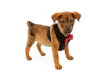 小狗佩带的圣诞节背心和领带 免版税库存照片