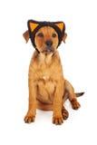 小狗佩带的猫耳朵为万圣夜 库存照片