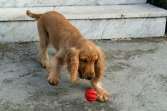 小狗使用与球的猎犬 免版税图库摄影