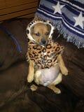 小狗准备好在万圣夜 库存图片