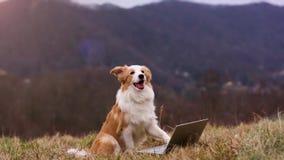 小狗博德牧羊犬坐在山坡的在膝上型计算机爪子的草和工作 题目计算机、技术和事务 股票录像