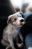 小狗博德牧羊犬 免版税库存照片