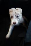 小狗博德牧羊犬 免版税图库摄影